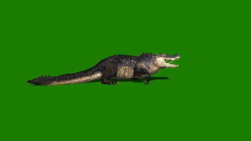 绿屏抠像爬行的野生鳄鱼视频素材