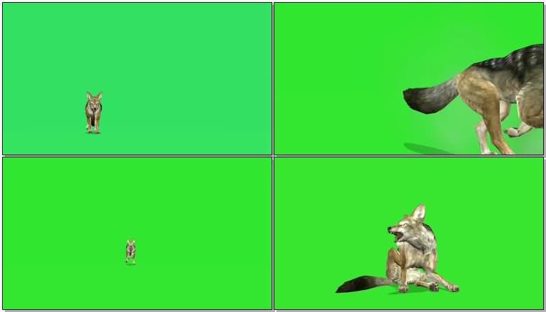 绿屏抠像奔跑的豺视频素材