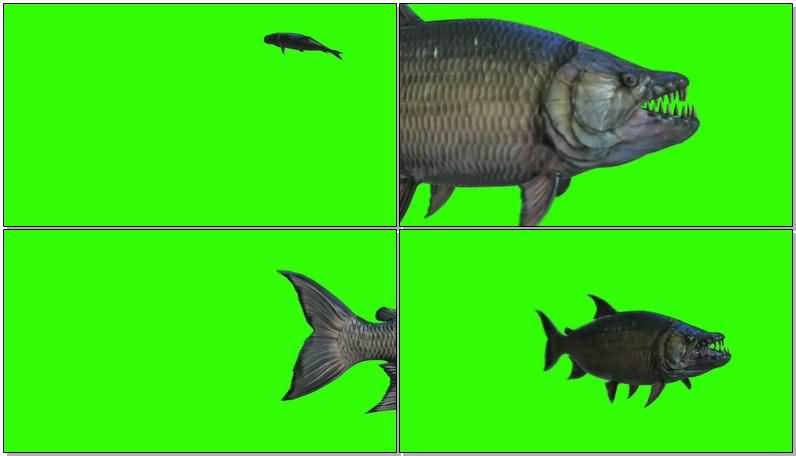 绿屏抠像游动的食人鱼视频素材