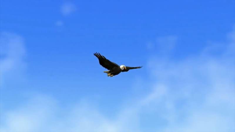 蓝色的天空中一只飞翔的老鹰视频素材