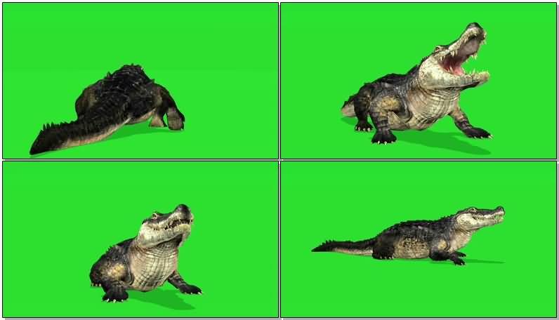 绿屏抠像爬行的鳄鱼视频素材