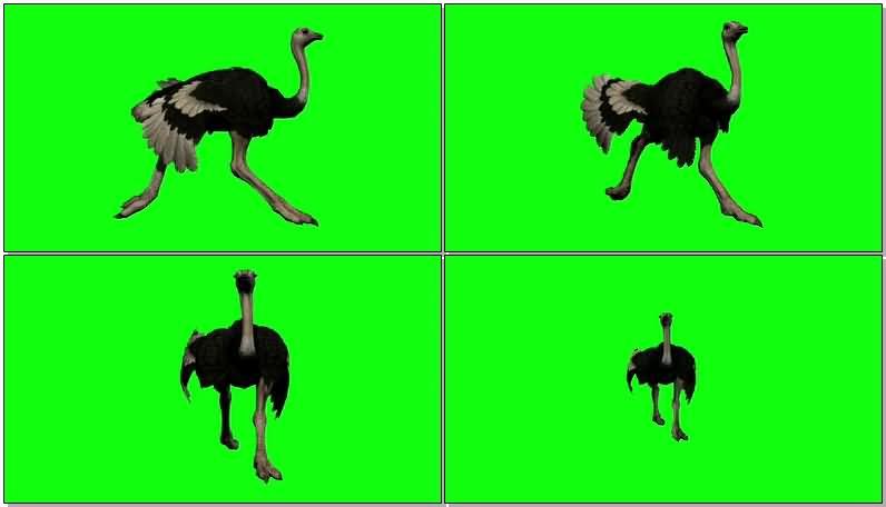 绿屏抠像奔跑的鸵鸟视频素材