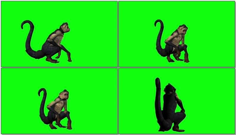 绿屏抠像休息的猴子视频素材