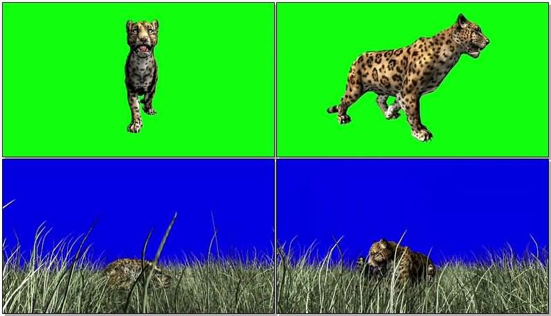 绿屏抠像行走的猎豹视频素材
