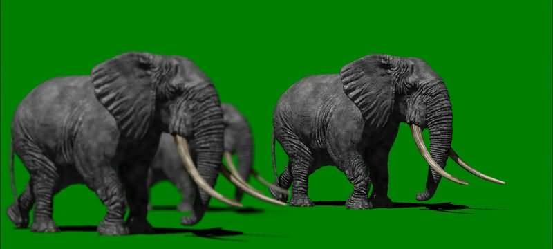 绿屏抠像行走的大象群视频素材