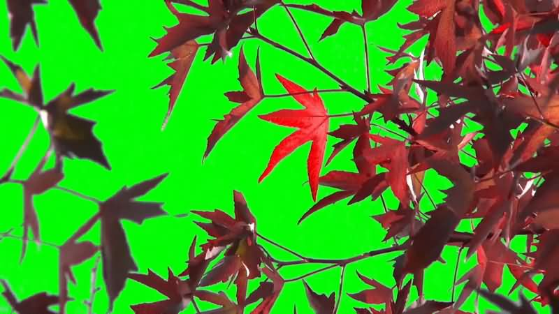 绿屏抠像红色枫叶视频素材