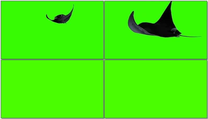绿屏抠像游动的魔鬼蝠鲼鱼视频素材