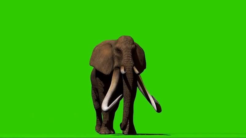 绿屏抠像行走的猛犸象视频素材