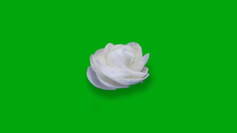 绿屏抠像白色玫瑰花视频素材