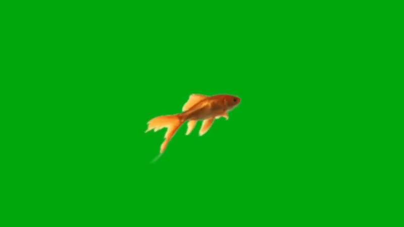 绿屏抠像游动的金鱼视频素材
