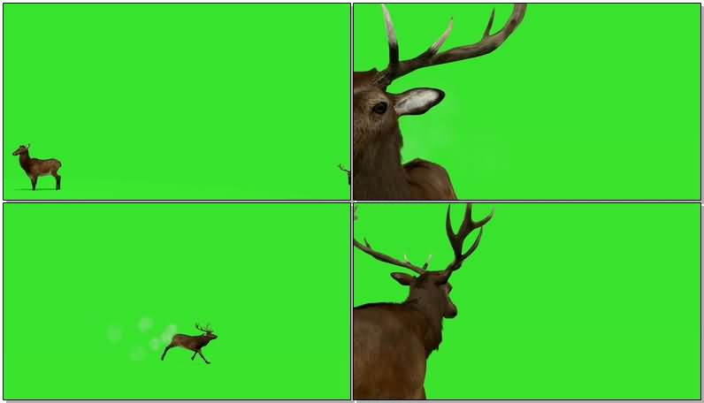 绿屏抠像奔跑的公鹿视频素材