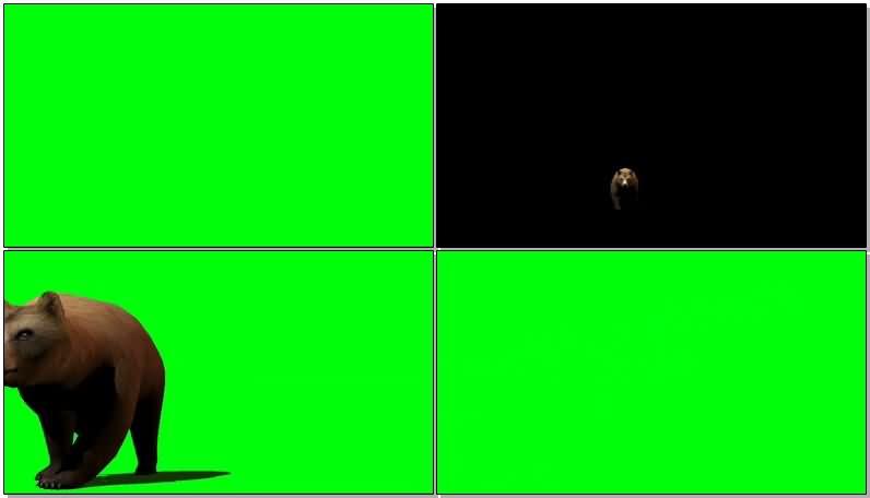 绿屏抠像行走的灰熊视频素材