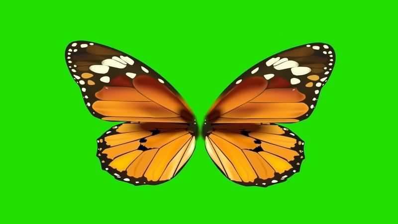 绿屏抠像美丽的蝴蝶视频素材