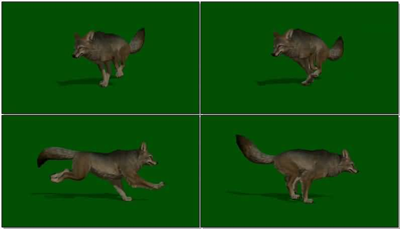 绿屏抠像奔跑的丛林狼视频素材