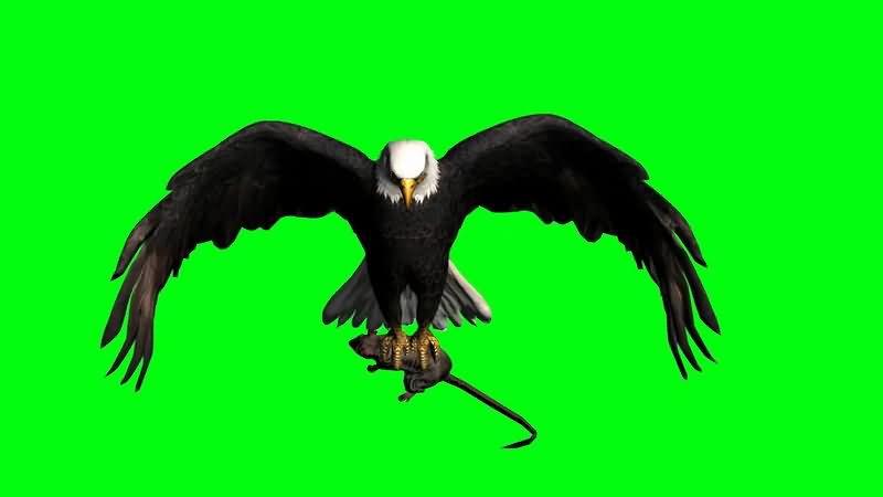 绿屏抠像抓田鼠的老鹰视频素材
