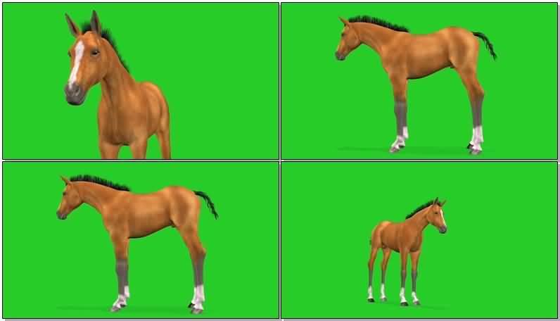 绿屏抠像棕色的骏马视频素材