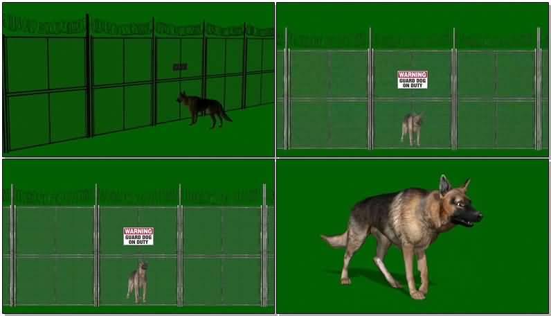 绿屏抠像看门的狼狗视频素材