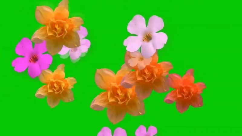 绿屏抠像飘落的鲜花视频素材