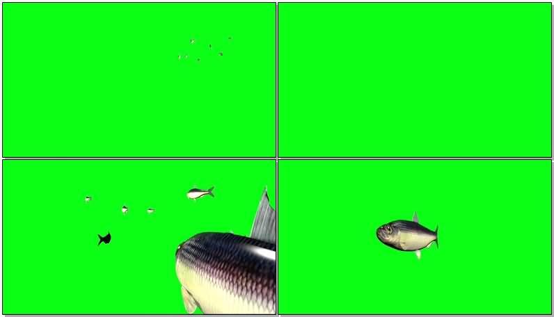绿屏抠像草鱼视频素材