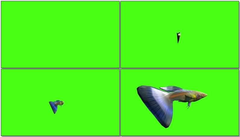 绿屏抠像孔雀鱼视频素材
