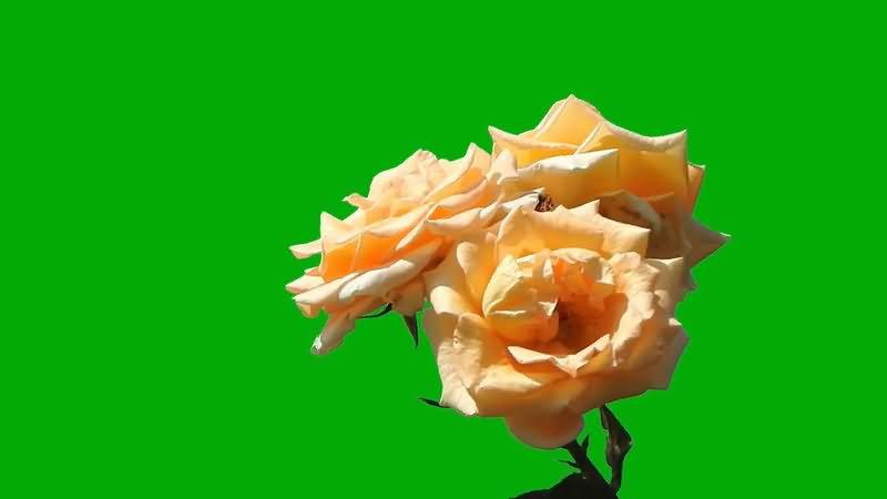绿屏抠像玫瑰花视频素材