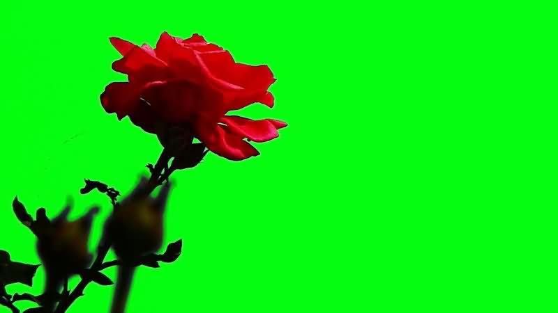 绿屏抠像红色玫瑰花视频素材