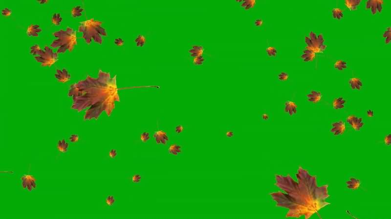 绿屏抠像飘落的枫叶视频素材