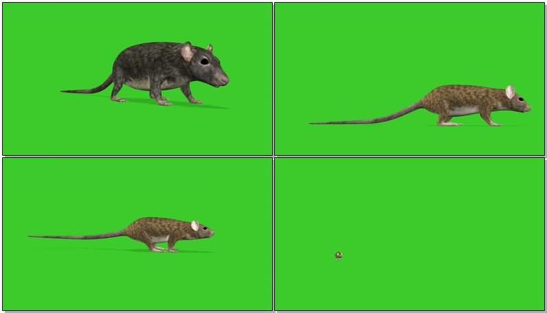 绿屏抠像老鼠视频素材