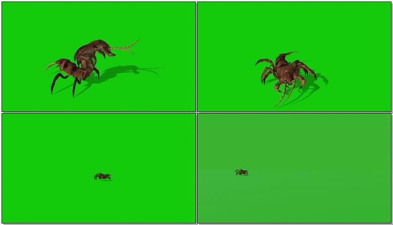 绿屏抠像爬行的蠼螋昆虫视频素材