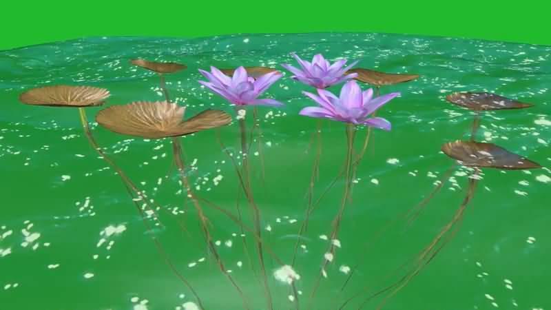 绿屏抠像水中的荷叶荷花视频素材