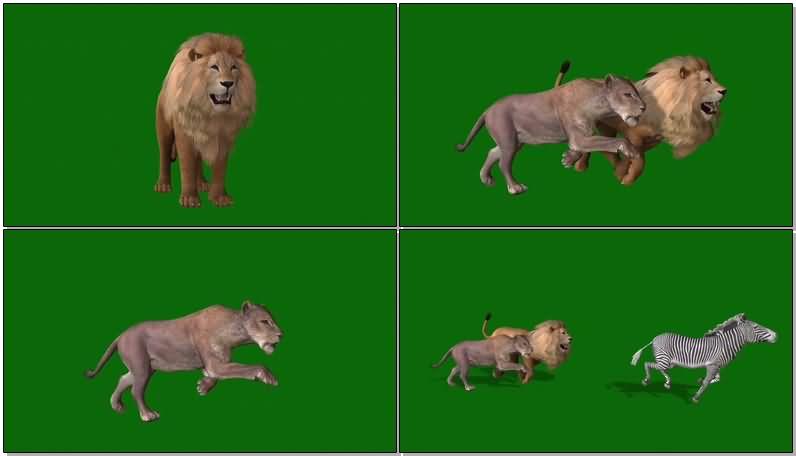 绿屏抠像狮子捕猎视频素材