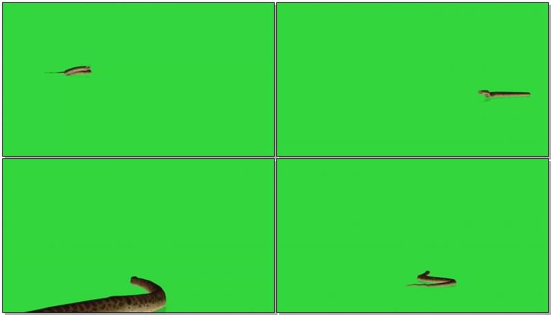 绿屏抠像蟒蛇视频素材