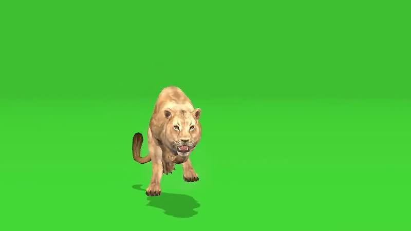 绿屏抠像捕猎的狮子视频素材