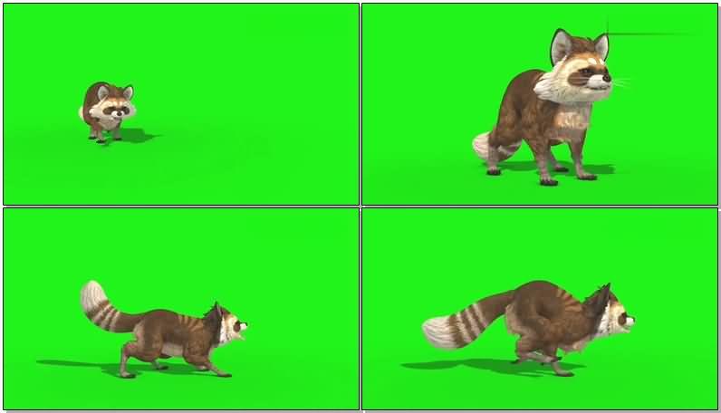 绿屏抠像浣熊视频素材