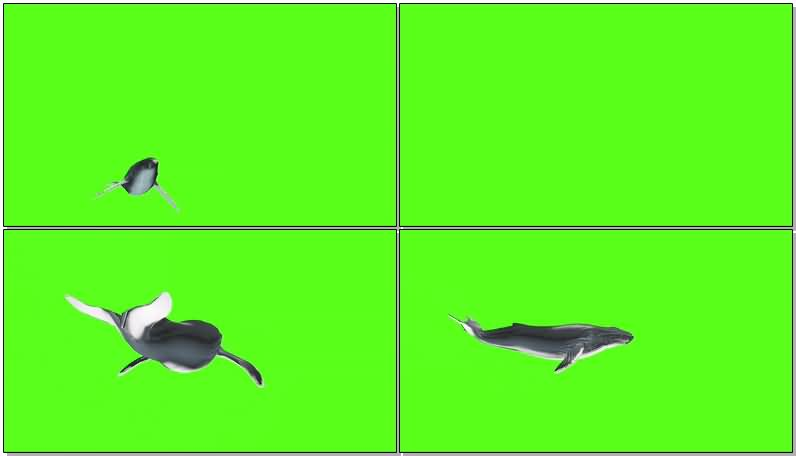 绿屏抠像座头鲸视频素材