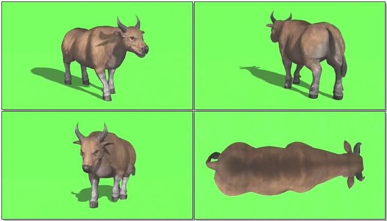 绿屏抠像野牛视频素材