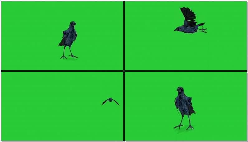 绿屏抠像乌鸦视频素材