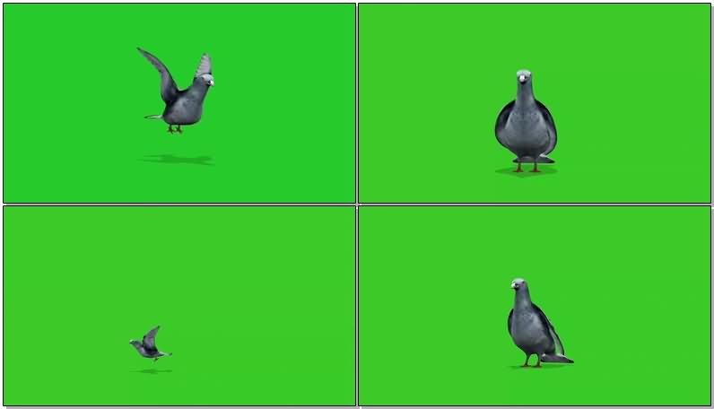 绿屏抠像鸽子视频素材