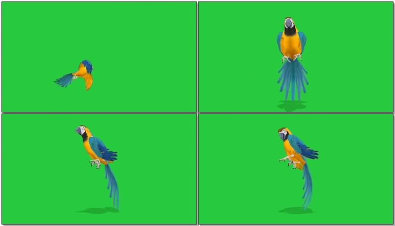 绿屏抠像鹦鹉视频素材
