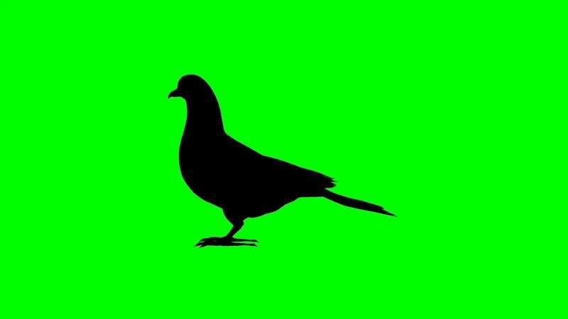 绿屏抠像鸽子剪影.jpg