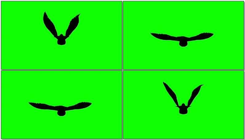 绿屏抠像飞行的鸽子剪影视频素材