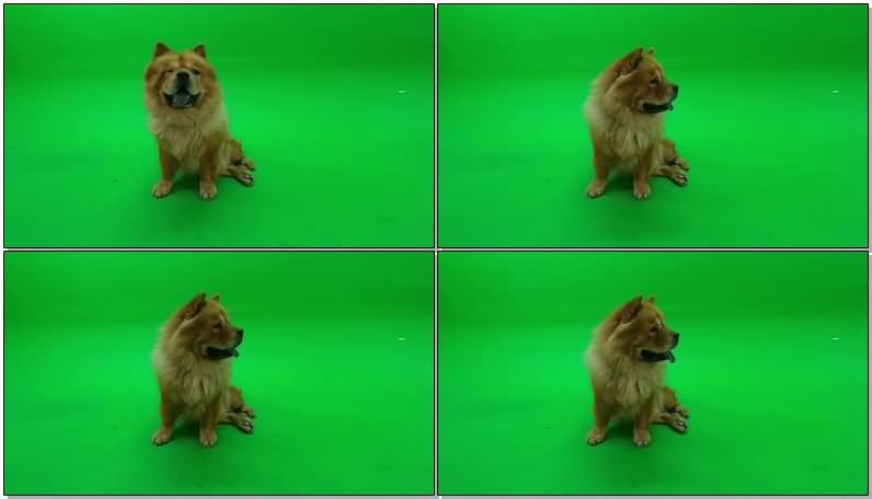 绿屏抠像松狮狗视频素材