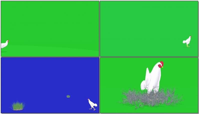 绿屏抠像大公鸡视频素材