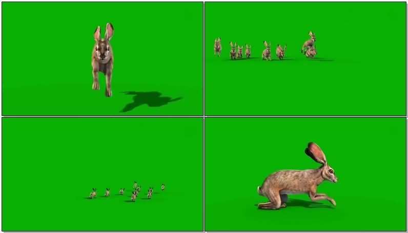 绿屏抠像野兔视频素材