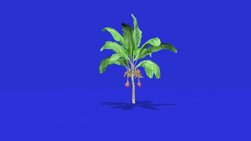 绿屏幕抠像火龙果树视频素材