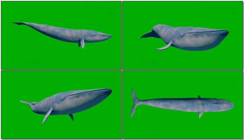 绿屏幕抠像蓝鲸视频素材