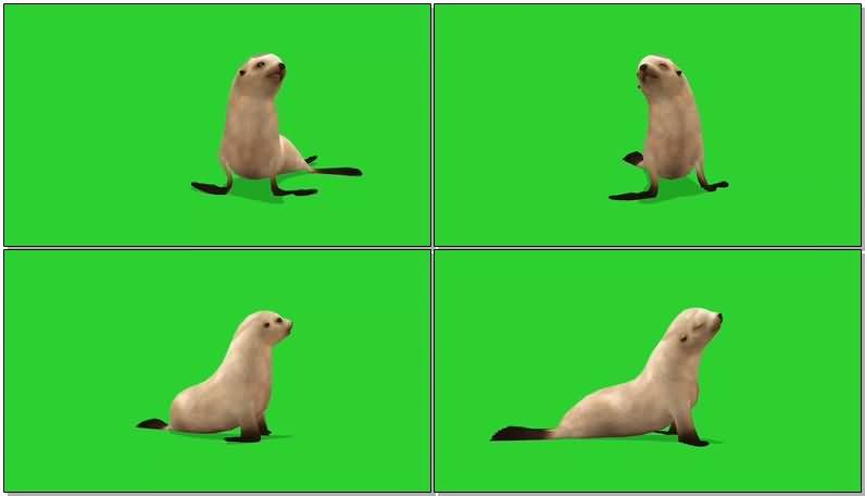 绿屏幕抠像海豹.jpg