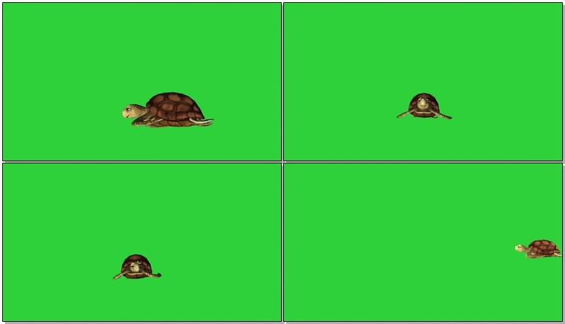 绿屏幕抠像海龟视频素材