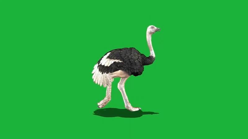 绿屏抠像视频素材鸵鸟