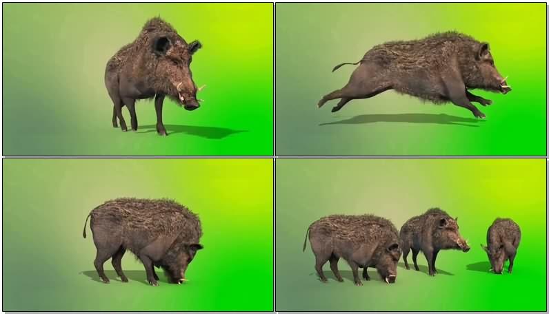 绿屏抠像视频素材野猪
